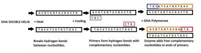 Figure 1. Cycle One of the PCR process.