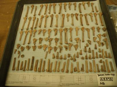 Figure 1 - A tray of goose carpometacarpii from 1 pit context at Hungate, representing a minimum of 65 geese. (Image Copyright - Clare Rainsford)