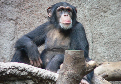 Figure 1: Chimpanzee in captivity (Image Copyright: Thomas Lersch)