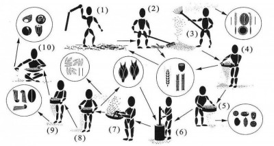 Figure 2: Crop-processing steps and the by-products which form archaeobotanical assemblages (after Stevens 2003)