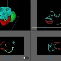 Chimpanzee skull segmentation process using Avizo lite.